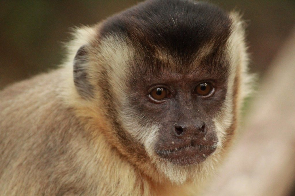 Essential oils for capuchin