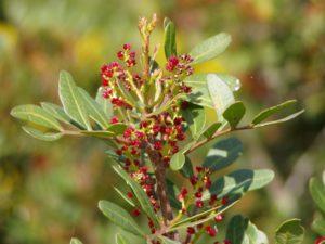 Flowering Lentisk