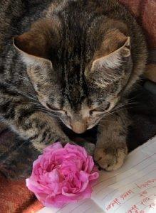 aromatic cat rose